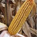 CAJA 2,50 KG  Semillas Maiz Hibrido Siembra-...