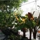 Frutal Tropical Platanera de Canarias en Mac...
