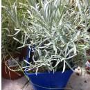 Lavandula Angustifolia C19. Planta de Lavand...