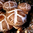 Micelio en Grano de Setas Lentinula Edodes (...