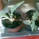 Planta de Alcachofera   en Maceta de 9 Cen