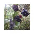 Planta de Mora Rubus Fruticosus Var. Navajo....