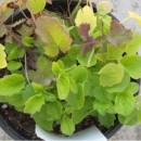 Planta de Valeriana en Maceta de 14 Cen.