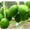 5 Plantas de Olivo. Variedad Picual. Altura...