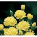 Clavel Mediterraeo de Color Amarillo en Mace...