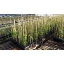Planta Granado Mollar Elche