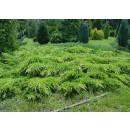 0059 - Juniperus Media Var.pfitzeriana Aurea...