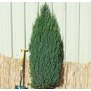 0123 - Juniperus Communis Var.hibernica - En...