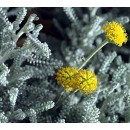 3 Plantas de Santolina Chamaecyparissus. Alt...