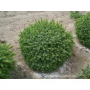 0141 - Picea Omorika Var.nana - 5 Litros - (...