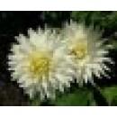 Planta de Dalia en Maceta de 14 Cm