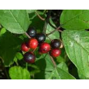 Planta de Arraclán  en Formato Forestal