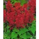 Semillas Salvia Enana Roja