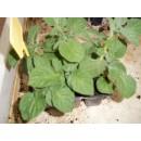 Bandeja 6 Plantas Patatas Rojas