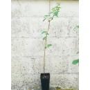 Planta de Frambuesa