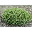 0101 - Picea Abies Var.repens - 10Litros - 3...