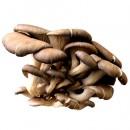 Micelio en Grano de Pleurotus Ostreatus, Set...