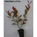 Photinia  Little