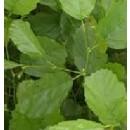 Planta de Aliso (Alnus Glutinosa)