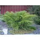 0054 - Juniperus Media Var.mint Julep - Eneb...