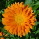 Planta Calendula en Maceta de 11 Cm