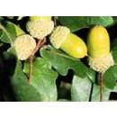 Planta de Roble (Quercus Pyrenaica) - Reboll...