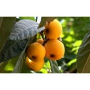 Frutal Nispero. Planta de 120-150 Cm.