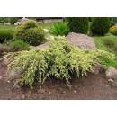 0128 - Juniperus Squamata Var.holguer - Eneb...