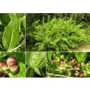 Coriaria Myrtifolia. Emborrachacabras. Altur...