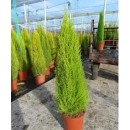 0035 - Cupressus Macrocarpa Var. Goldcrest -...