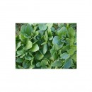 Abono Verde Alberjones (Vicia Narbonensis) E...
