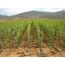 Plantones Almendro Variedad Guara