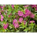 Planta Cuphea en Maceta de 12 Cm