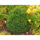 0135 - Picea Abies Lasiocarpa Var.compacta -...