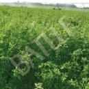 Alfalfa Aragón -1Kg