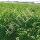 Alfalfa Aragón -25Kg