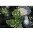 Encinas (Quercus Ilex) Micorrizadas, Product...
