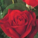 Rosal Arbustivo Papa Meilland 3L