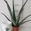 Aloe Vera – Cont.14Cm – 20cm de Altura – (Co...