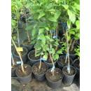 Clementina Arrufatina en Maceta de 20 Cm