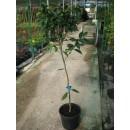 Mandarina Ortanique en Maceta de 25 Cm