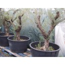 Olivo en Maceta de 130 Litros