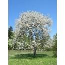 Arbol de Prunus Avium (Cerezo Flor)Calibre 1...