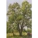 Arbol de Quercus Faginea en Maceta de 25 Cen
