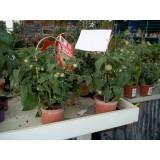 Planta Tomate Red Robin en Maceta de 2,50 Lts