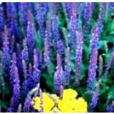 Salvia. Agradable Aroma. 300 Semillas