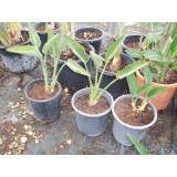 Planta Tropical de Sterlitzia Regina 2 en Maceta de 25 Cm