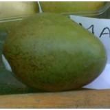 MANGO KEITT en Maceta de 25 Centímetros