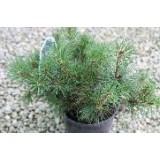 Pinus  Mugo Pumilio C-17