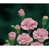 Clavel Mediterraneo Rosa en Maceta de 14 Cm
